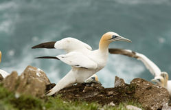 Northern Gannet Royalty Free Stock Photos