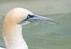 Northern Gannet. Portrait Royalty Free Stock Photography
