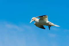 Northern gannet against a blue sky Stock Photography