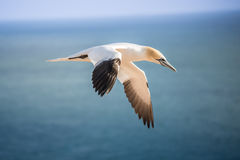 Northern gannet in the air Royalty Free Stock Image