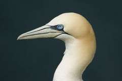 Northern Gannet. At Bempton Cliffs, Yorkshire, UK royalty free stock images
