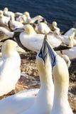 Northern Gannet billing - Morus bassanus Stock Photos