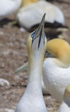Northern Gannet on Bonaventure Island Royalty Free Stock Photo