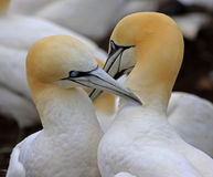 Northern Gannet Bonding - Quebec, Canada Royalty Free Stock Images
