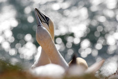 Northern gannet breeding pair / Morus bassanus bill and coo Royalty Free Stock Photo