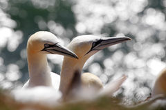 Northern gannet breeding pair / Morus bassanus Royalty Free Stock Images