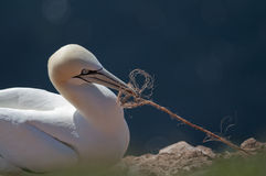 Northern Gannet building nest Stock Image