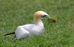 Northern Gannet Collecting Nest Materials - Quebec, Canada Royalty Free Stock Image