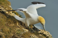 Northern Gannet collects grass for nest-building Royalty Free Stock Photo