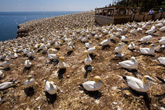 Northern Gannet Colony Royalty Free Stock Photo