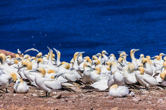 Northern Gannet Colony Stock Image