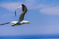 Northern Gannet Colony Stock Images