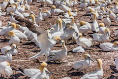 Northern Gannet Colony Royalty Free Stock Image