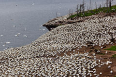 Northern gannet colony on Bonaventure Island Stock Images