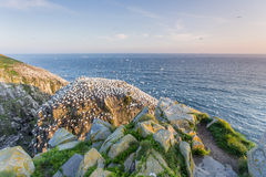 Northern gannet colony at dusk Royalty Free Stock Images