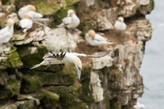 Northern gannet colony Royalty Free Stock Photos