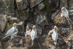 Northern gannet colony Royalty Free Stock Photography