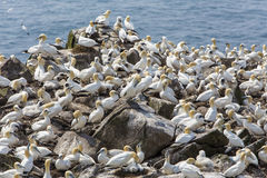 Northern gannet colony Stock Photos