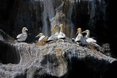 Northern gannet colony, Westmen Isles, Iceland Royalty Free Stock Images