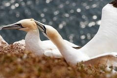 Northern Gannet couple Royalty Free Stock Image