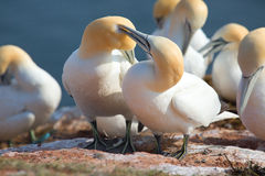 Northern Gannet couple Stock Photos