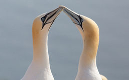 A northern gannet couple Royalty Free Stock Photos