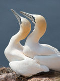 Northern Gannet couple Stock Photography