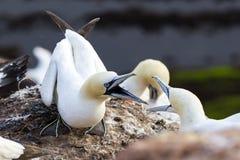 Northern Gannet defending nest - Morus bassanus Stock Images