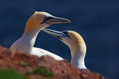 Northern Gannet, detail head portrait with evening sun and dark orange sea in the background, beautiful birds in love, pairs of an Stock Photography