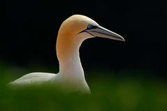 Northern gannet, detail head portrait of sea bird, sitting on the nest, with dark blue sea water in the background, Helgoland isla Royalty Free Stock Photo