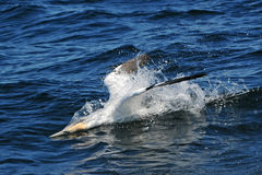 Northern Gannet diving Stock Photo
