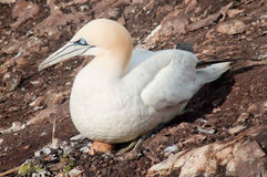 Northern gannet on egg Stock Photo
