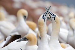 Northern Gannet Fencing Royalty Free Stock Photo