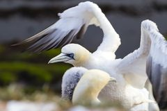 Northern Gannet ready for take off - Morus bassanus Royalty Free Stock Images