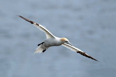 Northern Gannet In Flight. Over the Atlantic Ocean in Cape St. Mary's, Newfoundland Royalty Free Stock Images