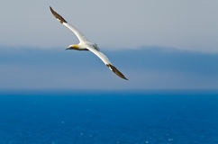 Northern gannet Stock Image