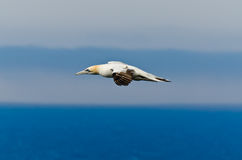 Northern gannet. In flight above the ocean Royalty Free Stock Photography