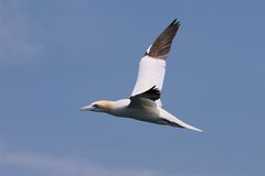 Northern Gannet in Flight 1 Royalty Free Stock Photo