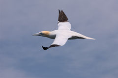 Northern Gannet in Flight 2 Royalty Free Stock Photo