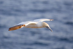 Northern gannet in flight. Cape St. Mary's Ecological Reserve, Newfoundland, Canada Stock Photo