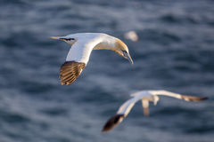 Northern gannet in flight. Cape St. Mary's Ecological Reserve, Newfoundland, Canada Stock Images