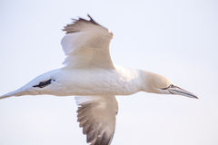 Northern gannet in flight. Cape St. Mary's Ecological Reserve, Newfoundland, Canada Royalty Free Stock Photography