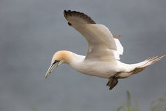 Northern Gannet in flight close up Stock Photo