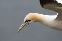 Northern Gannet in flight close up Royalty Free Stock Images