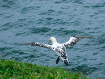 Northern gannet in flight, Heligoland, Germany Stock Photography