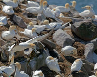 Northern Gannet. In flight with nesting materials Stock Images