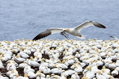 Northern Gannet in flight with nesting materials in beak, flying over the seabird colony  Quebec Stock Photos