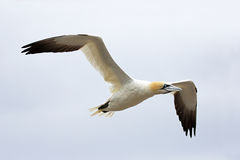 Northern Gannet in Flight - Newfoundland, Canada. Cloudy sky background Stock Photo