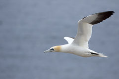 Northern Gannet in Flight - Quebec, Canada Stock Image