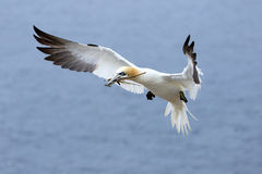 Northern Gannet in Flight - Quebec, Canada Royalty Free Stock Images